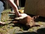 Schweinerettung 2004