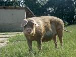 Hausschwein in Auslaufhaltung