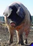 schwein1.jpg