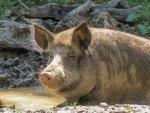 Schwein in der Suhle