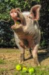 Schwein genießt Äpfel