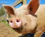Cullhowee - The Pig Preserve