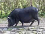 Minischwein 2004