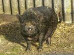 Minischwein im Tierheim Eversmeer